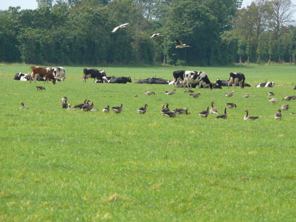 Grazwnde koeien en ganzenganzen